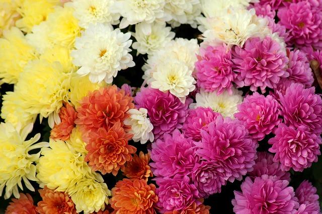 farebné chryzantémy.jpg